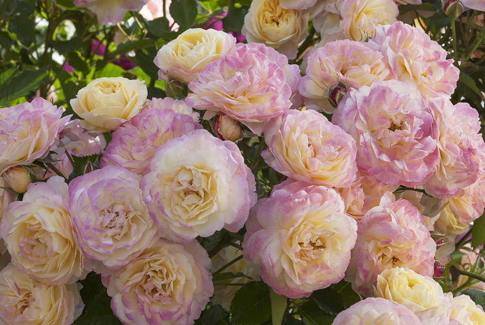The Huntington Library Celebrates Its Centennial With A Commemorative Rose